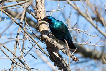 Cape Glossy Starling or Red-shouldered Glossy Starling (Lamprotornis nitens) perched on branch, Addo Elephant National Park, Eastern Cape, South Africa