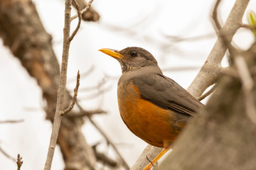 Olive Thrush (Turdus olivaceus) perched on branch close up, Eastern Cape, South Africa