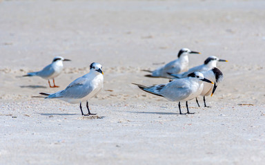 Seagulls on the sand at the beach, looking for food and relaxing under the sun. Bell Air Beach, Florida, USA.