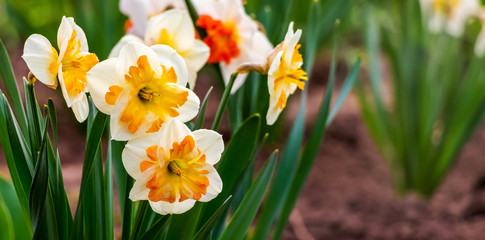 Poster Narcisse White daffodils with yellow middle in flower garden_