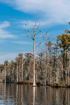 Several birds sitting on the branches of a leafless tree, on the St. John's river, Jacksonville, Florida, USA