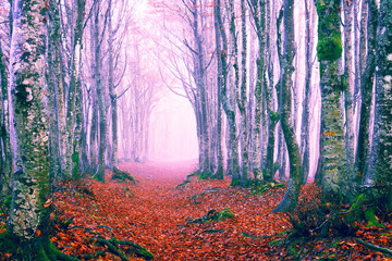 Enchanted forest path at fall season - Beech woods in winter morning mist - Picturesque image of trees on an autumn day