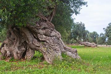 Foto op Aluminium Olijfboom secular olive tree - Salento, Italy