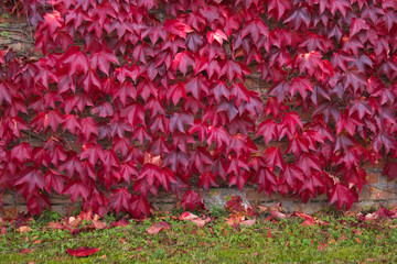 Autumn ivy background. Colorful leaves covering wall during autumn afternoon
