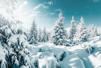 Gorgeous white spruces on a frosty day. Location place Carpathian national park, Ukraine, Europe.
