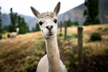 Funny Portrait of a sheared lama - Cute Alpaca