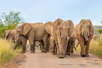 A herd of elephants ( Loxodonta Africana) walking on the road towards the camera, Pilanesberg National Park, South Africa.