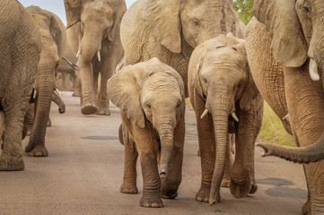 A close image of a herd of elephants ( Loxodonta Africana) walking on the road at Pilanesberg National Park, South Africa.