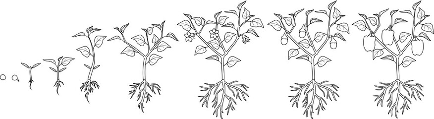 Coloring page. Life cycle of pepper plant. Growth stages from seed to flowering and fruiting plant with ripe peppers isolated on white background