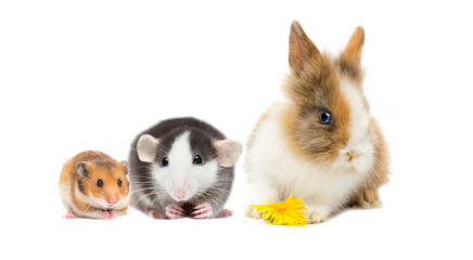 Wall Mural - rat and hamster and rabbit on a white background
