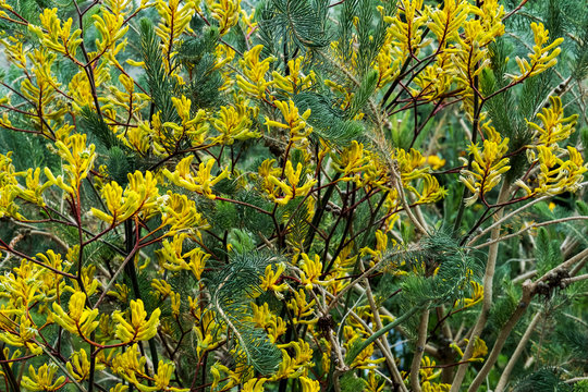 Close up of shrub with yellow blossoms