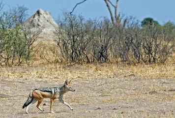 Black Backed Jackal (Canis mesomelas) walking across the dry African Savannah with a termite mound and bushveld background.  Hwange National Park, Zimbabwe