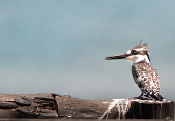 Pied Kingfisher perched on a black wooden post with an empty blue sky background