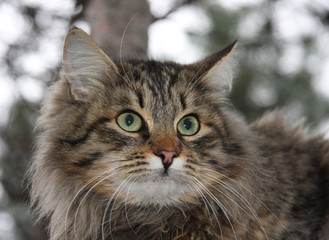 Animals. Fluffy cat with green eyes in nature
