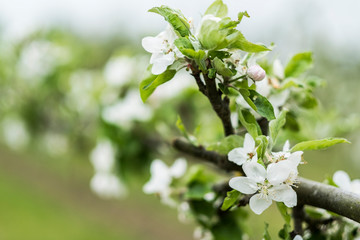 Close up view of white blossoms in spring