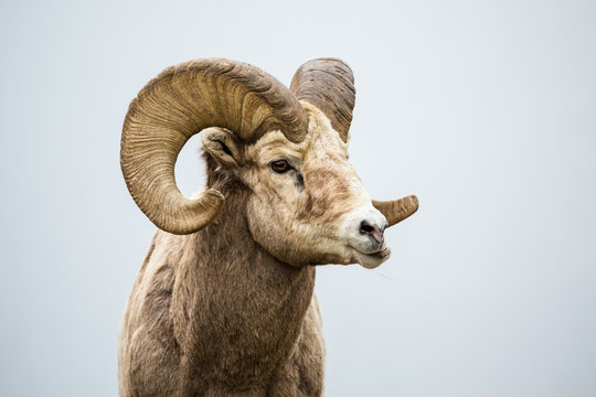 Male bighorn sheep ram chewing with jaw sideways grinding his food.