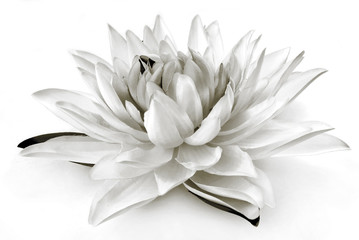 Garden Poster Lotus flower lily black and white