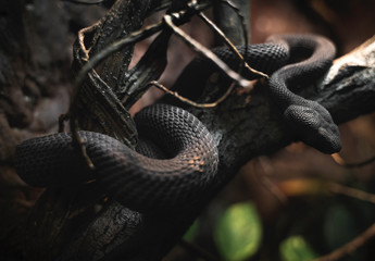 This image shows a black snake twisted around a branch.