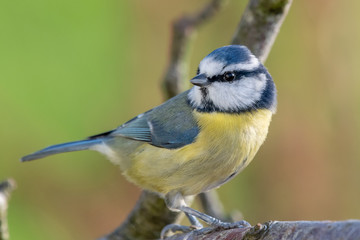 Close up of a blue tit (cyanistes caeruleus) perching on  branch.