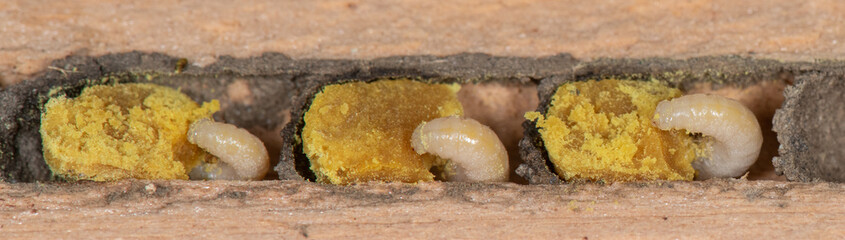In de dag Bee Osmia lignaria, blue orchard mason bee nest with larvae