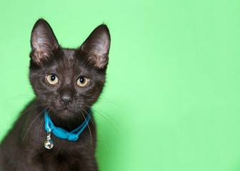 Close up portrait of an adorable black kitten with golden yellow eyes wearing a teal blue collar with bell looking directly at viewer. Light mint green background with copy space.