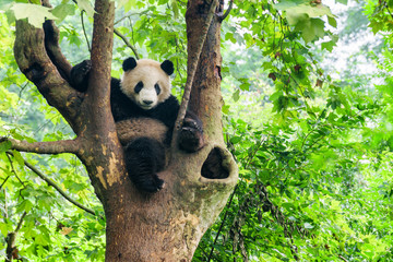Papiers peints Panda Giant panda sitting in tree and looking at the camera