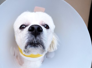Health of pets sick and painful with dog and head protection collar. pet health care concept.