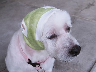 sick dog has a wound on the head. Veterinarians use bandages to treat and prevent pathogens.