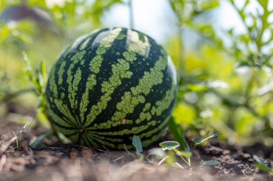 Watermelon on a plant in the garden