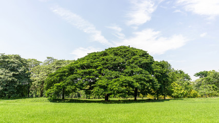 The greenery leaves branches of big Rain tree sprawling cover on green grass lawn under blue sky and sunshine morning, plenty trees on background in the publick park