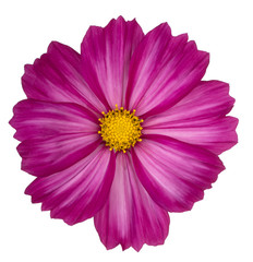 Fototapeten Kosmos cosmos flower isolated
