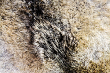 wool and pelt of the gray wolf. Background of wolf fur