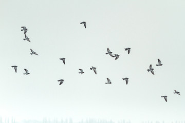 wild pigeons fly through the winter sky