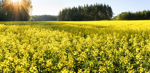 A field of yellow flowering blooming mustard seed plants in Rusko, Finland.