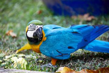 colorful parrot blue tropical