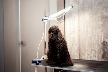 Grooming hair of a dog Cocker Spaniel. Pet care concept. Pet salon. Cute dog at groomer salon
