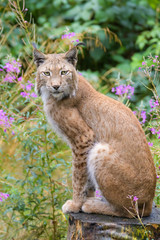 Wall Mural - Closeup of a european lynx in front of flowers