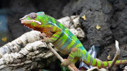 Fotorollo Chamaleon Kameleon lamparci Furcifer paralis z rodziny kameleonowate