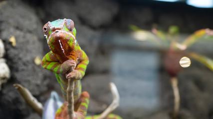 Fotorollo Chamaleon Kameleon lamparci Furcifer pardalis z rodziny kameleonowatych