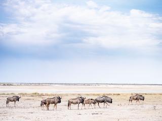 Wildlife in salt pan - Etosha National Park - Namibia
