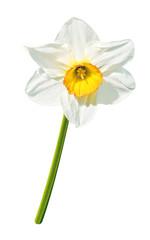 Papiers peints Narcisse Narzisse