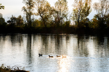 Ducks at dawn amid the trees, branches and green leaves. In the background the water of the river Adda.