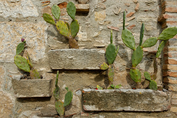 cactuses on old stone wall