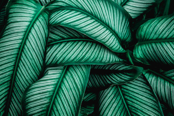Fotomurales - green leaves nature  background, closeup leaves texture, tropical leaves