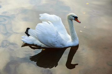A white swan floats on the surface of a lake in a city park.