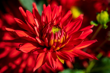 Close-up of red dahlia flower in the summer time garden