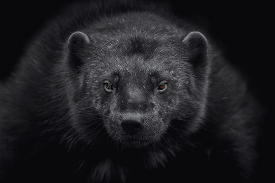 Close-up of a wolverine (Gulo gulo) looking at camera and isolated on black background
