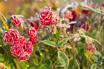 Fototapeta oszronione kwiaty róży, poranny przymrozek wczesną jesienią obraz
