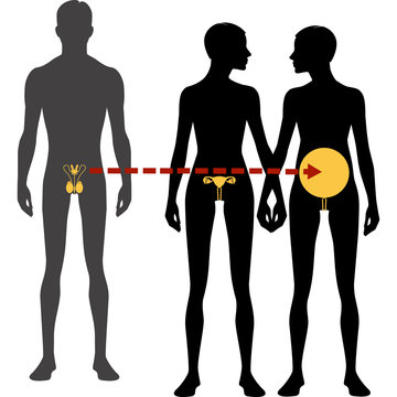 Male and females body silhouette and reproductive system. Surrogacy and in vitro fertilization, Isolated perfect image symbols on white background. Vector illustration.