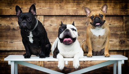 Fotorolgordijn Franse bulldog group of dogs breed french bulldog together